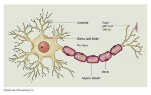 "A basic schematic of a neuron. The cell body and dendrites form the ""gray matter"", the myelinated axon forms ""white matter""."