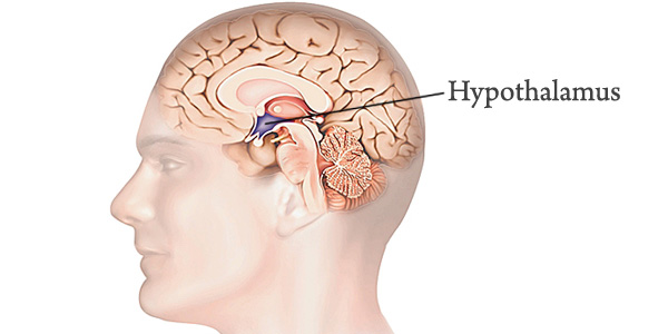 The hypothalamus, one small piece of a complex brain. From http://www.organsofthebody.com/