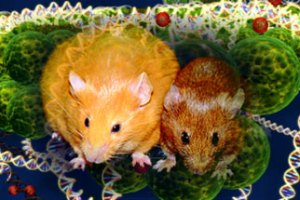 Identical twin mice with dramatically different appearances, thanks to epigenetics. Image from PBS.org