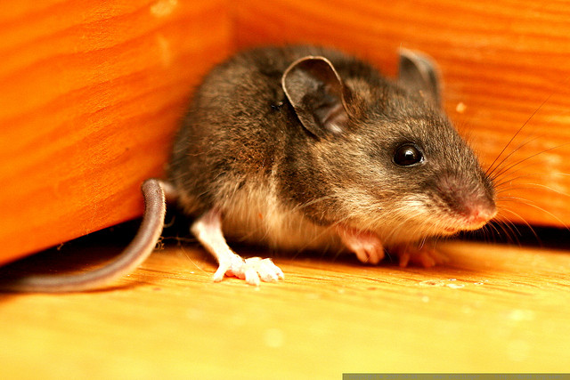 What can we learn about humans from a mouse? Photo by Sean Drellinger; used by Creative Commons license.
